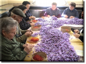 Saffron Being Extracted