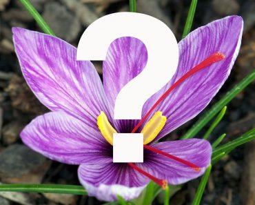 Saffron Flower